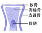 美骨肌:海綿骨