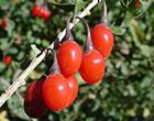 Bilberry是配合枸杞子日本製造眼睛疲勞回復保健食品