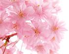 貴婦人HANA羊胎素是配合樱花提取物,日本製造美容保険食品