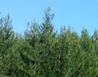 Quartenol是日本製造配合松樹皮美容保健食品