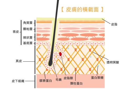 皮膚的構造