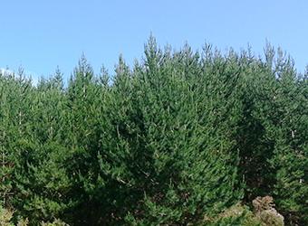 抗氧化物質_新西蘭產松樹皮