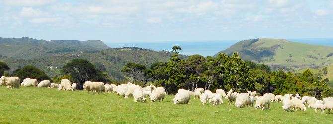 新西蘭產羊胎盤以及新西蘭的羊