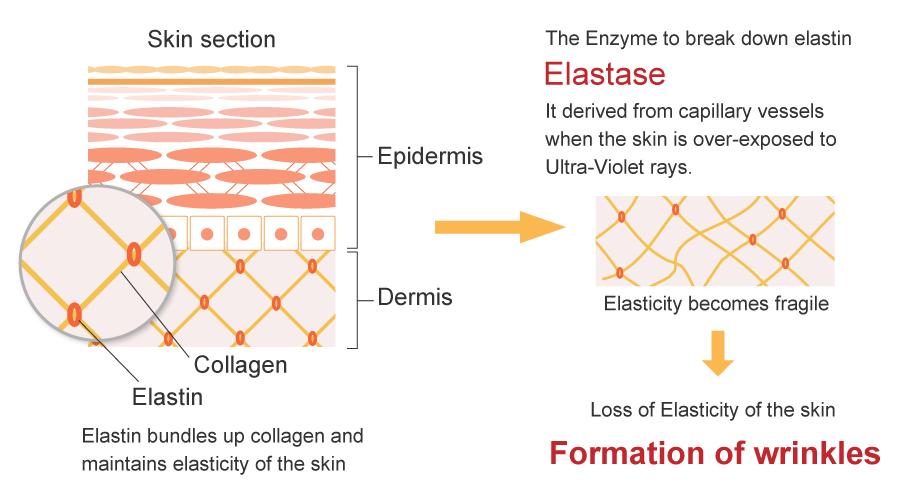 How angiogenesis cause wrinkles