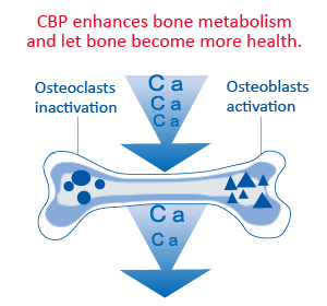 CBP increase of bone density and improve of osteoporosis.