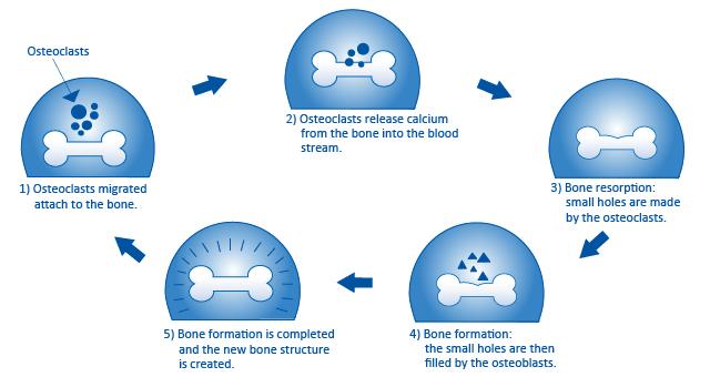 The bone metabolism cycle