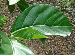 Noni leaf