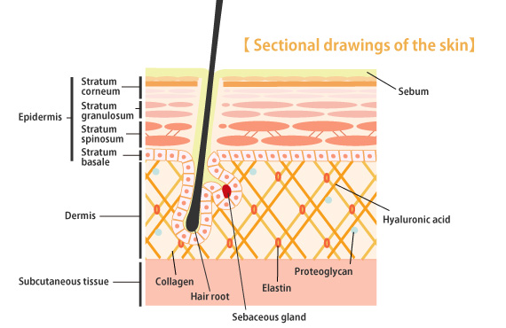 anatomy dermis Anatomy (greek anatomē,  the dermis is covered with separate dermal placoid scales they have a cloaca into which the urinary and genital passages open, .