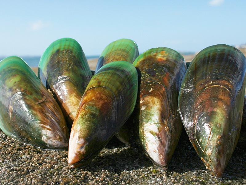 バイオレーン(ニュージーランド産緑イ貝エキス末) - ハイマート取り扱い原料