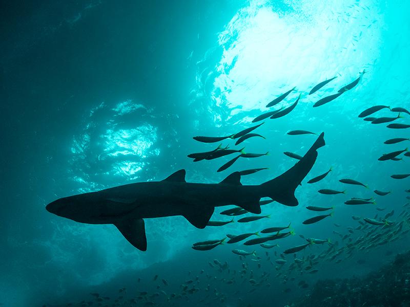 マコリピン - 健康食品原料の鮫抽出脂質