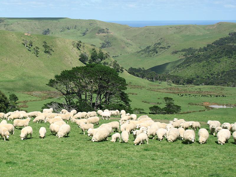 ニュージーランド産羊プラセンタ - ハイマート取り扱い原料