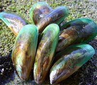 ハイマートのニュージーランド産緑イ貝原料(バイオレーン)イメージ1