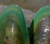 ハイマートのニュージーランド産緑イ貝原料(バイオレーン)イメージ2
