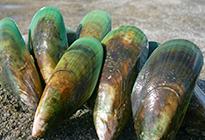 ニュージーランド産緑イ貝