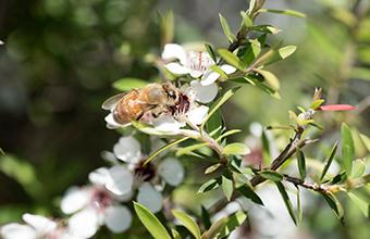 Dr. Beeマヌカハニー125+はニュージーランドのマヌカの花からとれるハチミツです。