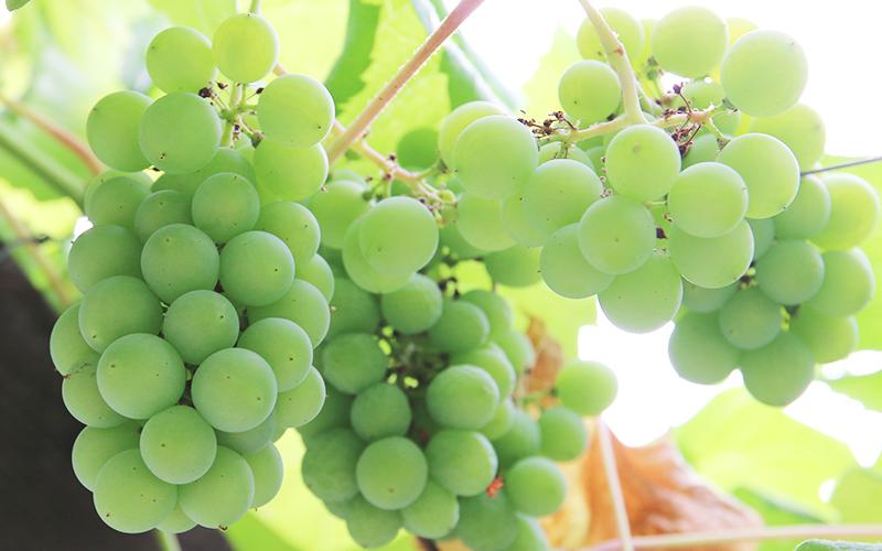 カルテノールに含まれるORAC値豊富なニュージーランド産ブドウ種子エキス末
