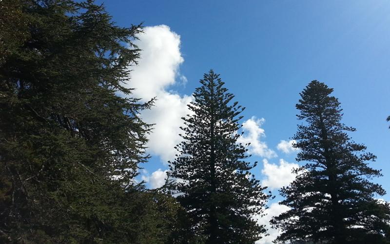 カルテノールに含まれるニュージーランド産松樹皮