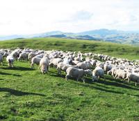 ハイマートのニュージーランド産羊プラセンタ原料-1