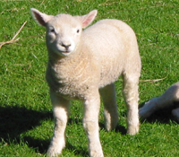 ハイマートのニュージーランド産羊プラセンタ原料-2