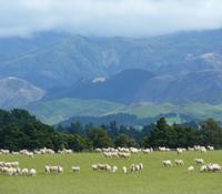 ハイマートのニュージーランド産羊プラセンタ原料-3